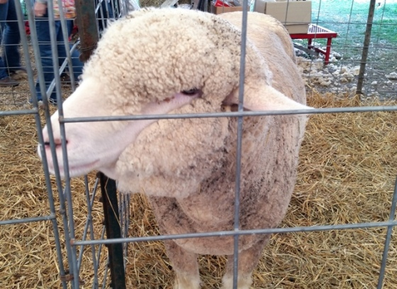 A picture of a sheep being shown at the Wayne County Fair in New York, August 2014